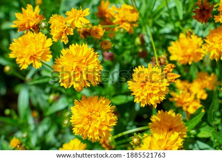 Photo of  Coreopsis grandiflora Early Sunrise blooming in summer - close-up 1