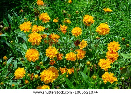 Photo of  Coreopsis grandiflora Early Sunrise blooming in summer - close-up 2