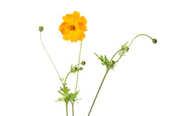 Coreopsis lanceolata flower, isolated on white