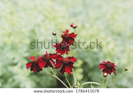 Photo of  Coreopsis Limerock ruby flowers on a green background