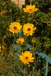 Coreopsis pubescens, called star tickseed in common. Yellow flower in garden. Descktop floral background