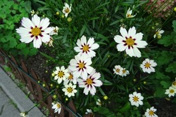 Coreopsis white yellow flowers, varieties - Star Cluster