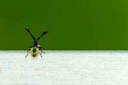 Coreus marginatus, Dock Leaf Bug or Brown Squash Bug. Species of true bug in the family Coreidae. Dorsal view of nymph Coreus marginatus with copy space