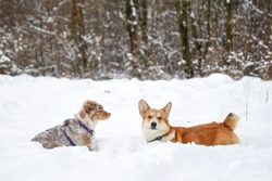 Corgi and aussie dog playing in snow.