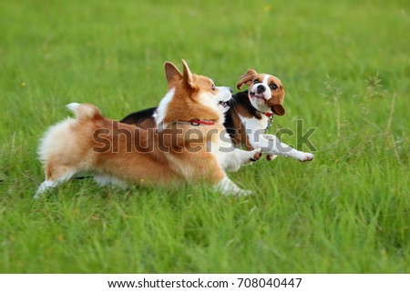 Corgi and beagle dogs run together. Playful puppies jump and play on green field. #708040447