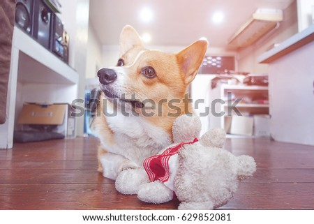 corgi dog hug white teddy bear and looking up,funny animal picture,vintage tone