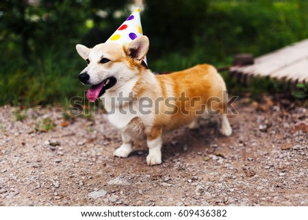 Corgi dog in fancy cap smiles and celebrates Birthday #609436382