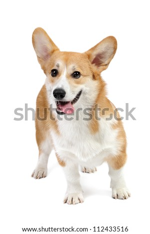 Corgi dog in studio on the white background