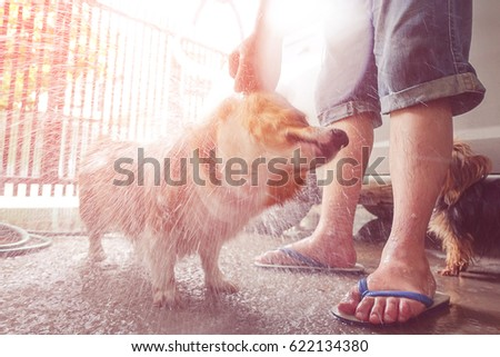 corgi dog shaking off water while takes a bath in a hot summer day,funny moments animal picture