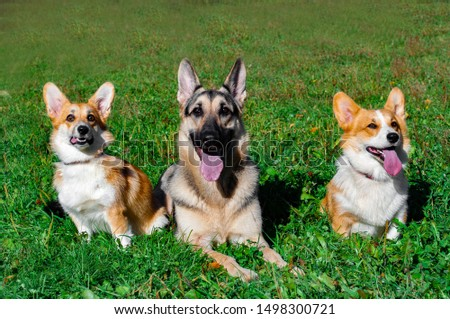 Corgi dogs and a shepherd. dogs on the grass. #1498300721