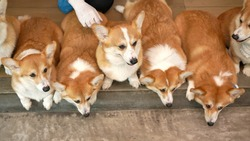 Corgi in modern house. Many of Pembroke Welsh Corgi, originated in Pembrokeshire, Wales.  Group of Welsh Corgi or Cardigan Welsh Corgi descend from northern spitz-type dogs.
