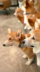 Corgi in modern house. Pembroke Welsh Corgi, originated in Pembrokeshire, Wales.  Welsh Corgi or Cardigan Welsh Corgi descend from northern spitz-type dogs.