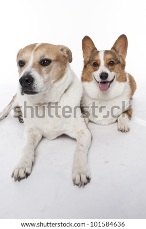 corgi pembroke and mixed breed in studio in front of a white background