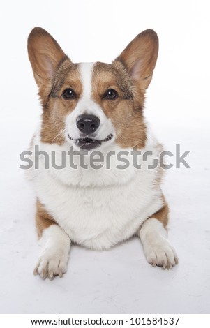 corgi pembroke in studio in front of a white background