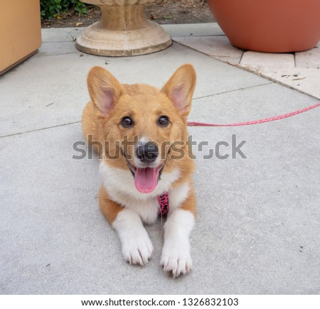 Corgi pictured laying down outside.