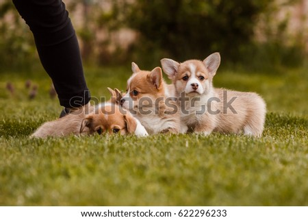 Corgi puppies on the lawn #622296233