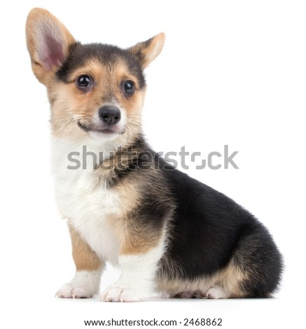 Corgi Puppies on Corgi Puppy Stock Photo 2468862   Shutterstock