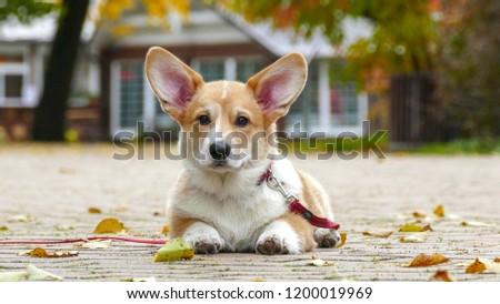 Corgi Puppy having rest outdoors in park #1200019969