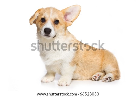 Corgi puppy on white background