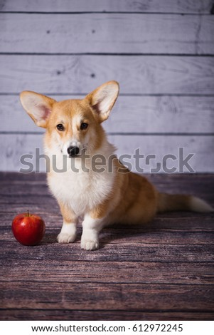 Corgi puppy with a red apple #612972245