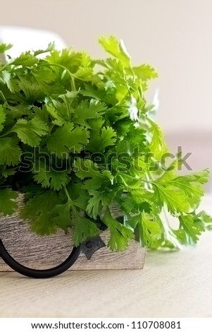Coriander in a bunch and picked fresh