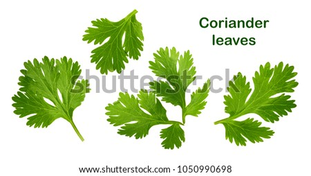 Coriander leaf isolated without shadow #1050990698
