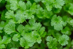 Coriander leaves in vegetables garden for health, food and agriculture concept design. Organic coriander leaves background.