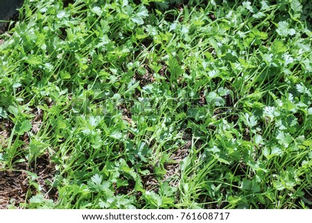 Coriander or Chinese parsley plants #761608717