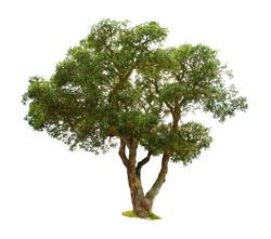 Cork oak isolated on white background.