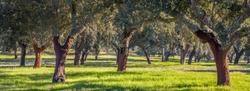 Cork oak plantations in Alentejo Portugal cork export industry Landscape