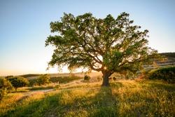 Cork oak tree (Quercus suber) in evening sun, Alentejo Portugal Europe