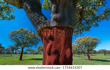 Cork oak tree, Quercus suber, in the Mediterranean forest of Sierra de San Pedro mountain range of Caceres province in Extremadura Autonomous Community of Spain, Europe