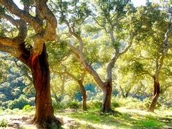 cork tree in Spain, Algeciras, Nature Park Los alcornocales