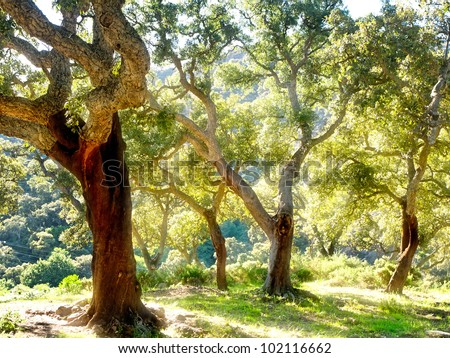 cork tree in Spain, Algeciras, Nature Park Los alcornocales