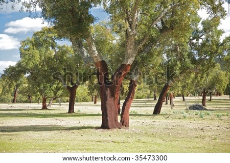 cork trees at caceres in extremadura spain