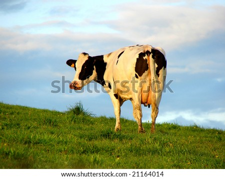 corman cow on a pasture