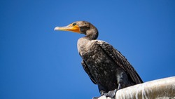 cormoran bird close up blue sky beach bird not a duck camacho fishing bird orange beak