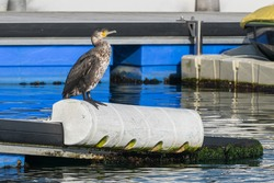 cormoran dries in sunlight on a buoy in the harbor