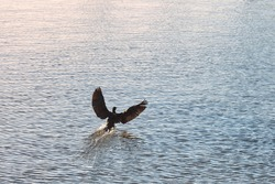 Cormorant bird flying hovering above blue water surface. Phalacrocorax carbo, great cormorant, great black cormorant, black cormorant, black shag in natural habitat.