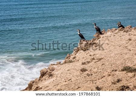 cormorant cormorants Phalacrocorax carbo maroccanus scenery Atlantic coast sea coast