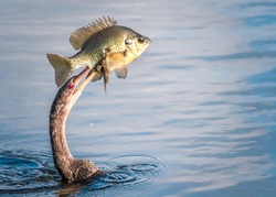Cormorant eating fish, close up of a cormorant swallowing a fish, a cormorant swallowing a fish