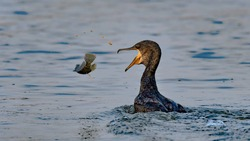 Cormorant in Action. Cormorants or Shags are primarily the Aquatic/ Water birds who can stay under water for long times to catch their prey. In this picture the prey is trying to escape the predator