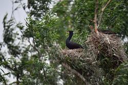 Cormorant nest in Danube Delta