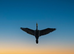 Cormorant (Phalacrocorax carbo) flying viewed from below with wings fully extended over a blue and orange toned sky of sunset