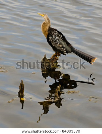 Cormorant roosting on stump in Florida lagoon.