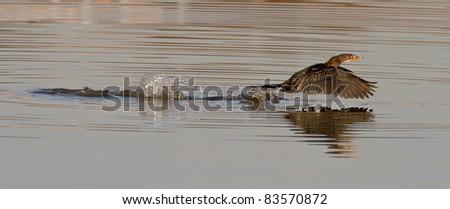 cormorant running on water - stock photo