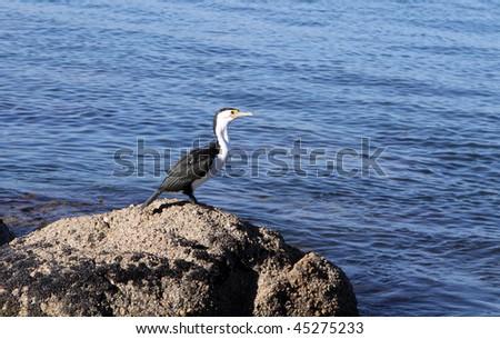 Cormorant. South Australia