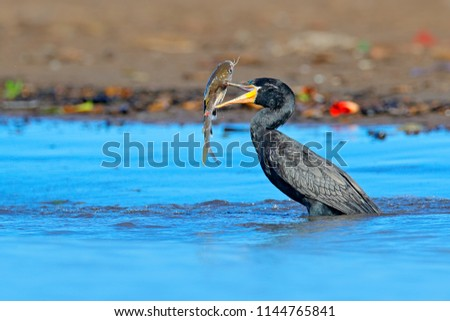 Cormorant with fish. Dark bird in nature habitat, in blue sea water. River bird in the nature habitat. Shag from Costa Rica. Animal behaviour near the tropic river.