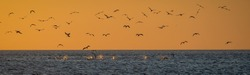 Cormorants fishing at sunset at Davey Bat beach in Mount Eliza