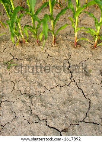 Corn and drought 2